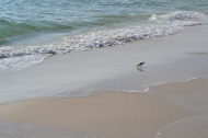 Sandpiper at Panama City Beach, FL